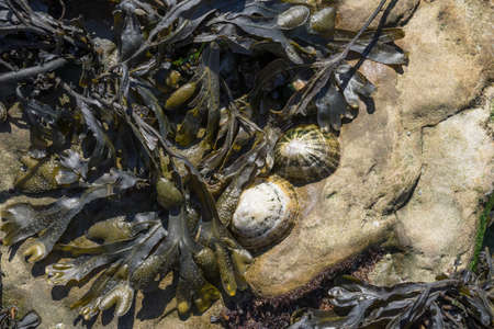 seaweed and shells on a tideland rock
