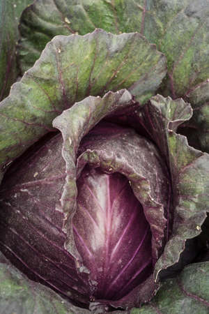 head of red cabbage in a garden