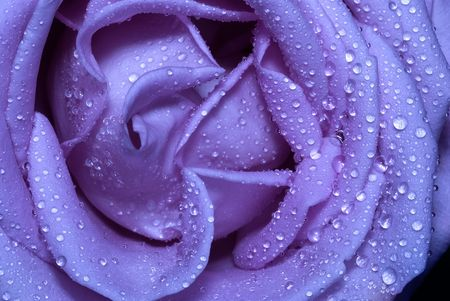 close-up macro micro blue rose with water drops Stockfoto
