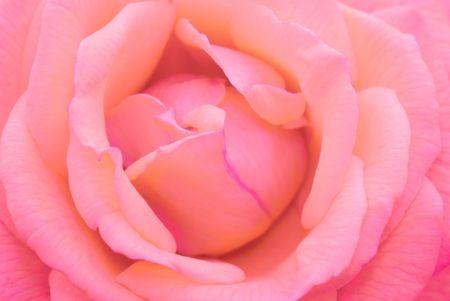 close-up macro micro pink rose