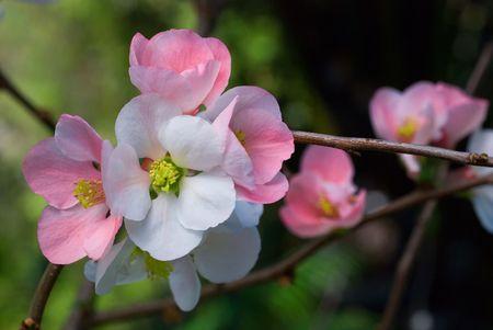 cherry blossoms sakura close-up