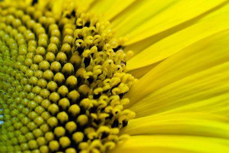 sunflower close-up macro micro