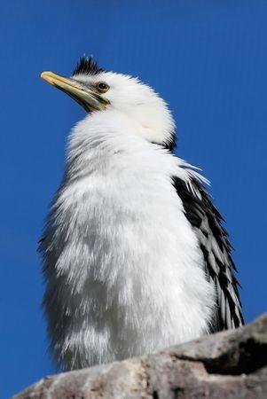 aquatic bird: a white duck-like bird in blue sky as background