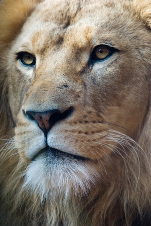 portrait of an african lion, close up, king power