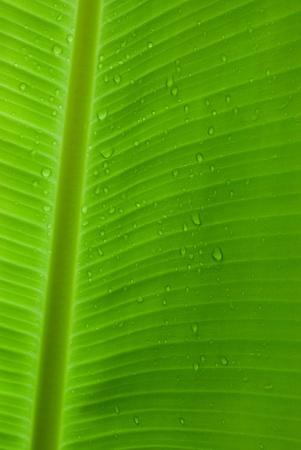Green and fresh rain drops on a banana leaf