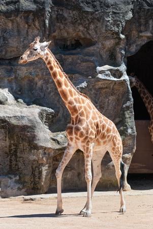 A giraffe at Taronga zoo, Sydney on rocky background Editorial