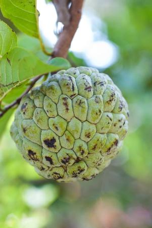 chirimoya: verde, crema de manzana fruto de cerca Foto de archivo