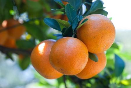 naranjas: Primer plano de naranjas frescas. Una rama con varias naranjas. Foto de archivo