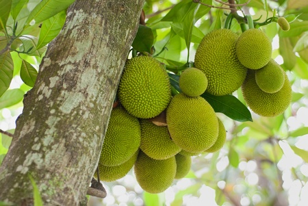 A tree branch full of jack fruits.