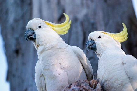 Australian birds, a pair of white cockatoo with yellow crest. Stock Photo