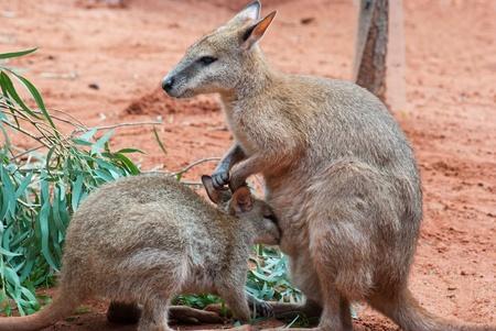 outback: Australian iconic animal, brown kangaroo, outback