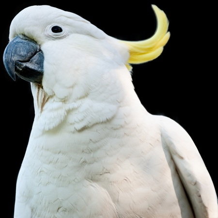 Australian bird, a white cockatoo with yellow crest isolated on black background