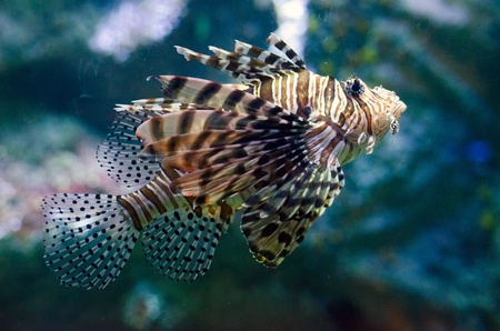 A Lionfish isolated on turquoise background