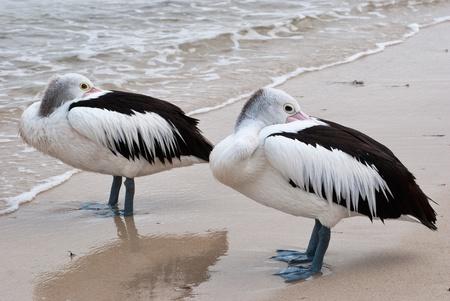 A pair of pelicans hiding their beaks standing on seashore