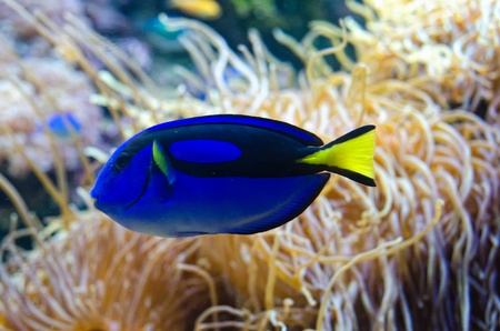A Power Blue Surgeonfish on coral background