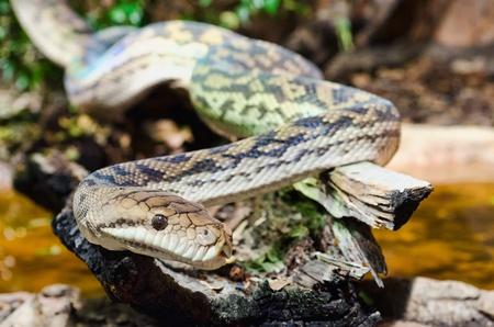 A tiger snake crawling on a log