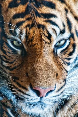 Tiger Portrait shot