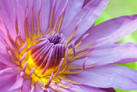 A closeup up shot of a pink purple waterlily