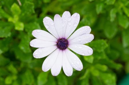 Osteospermum African Daisy close-upmacro