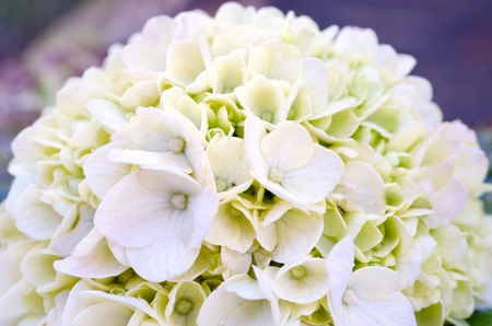A hydrangea in bloom in macro  close-up shot Stock Photo