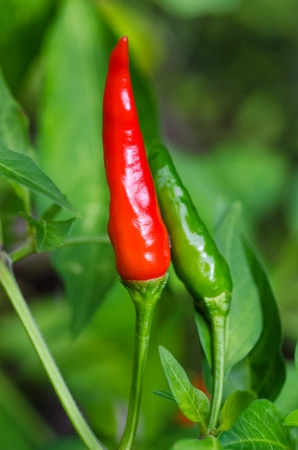 Redripe and green chillies on a live plant Stock Photo