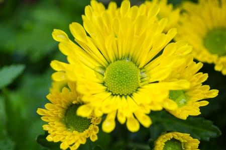Vibrant Chrysanthemum Daisies Blomming in close-up macro shot