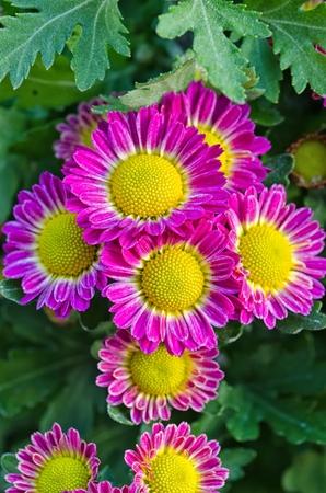 blomming: Vibrant Chrysanthemum Daisies Blomming in close-up macro shot