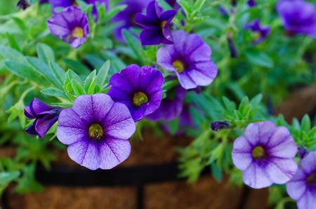 Purple Million Bells - Calibrachoa close-up  macro shot Stock Photo