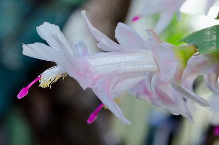 Blooming White Purple Zygo - Zygocactus Close-up / macro shot
