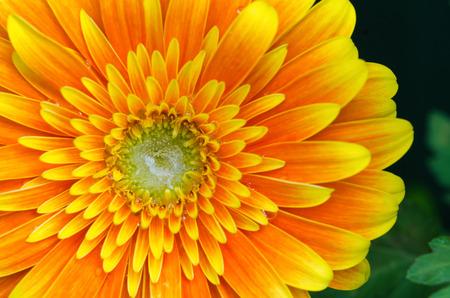 Gerbera Flower Close-up  Macro shot. Very vibrant and bright