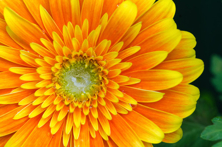 Gerbera Flower Close-up / Macro shot. Very vibrant and bright