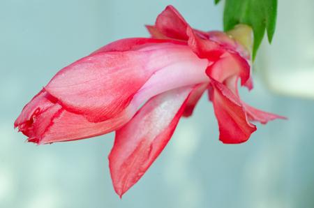 Blooming Red Zygo - Zygocactus Close-up  macro shot