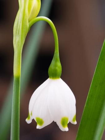 A single Snowflake Spring Flower close-up / macro shot