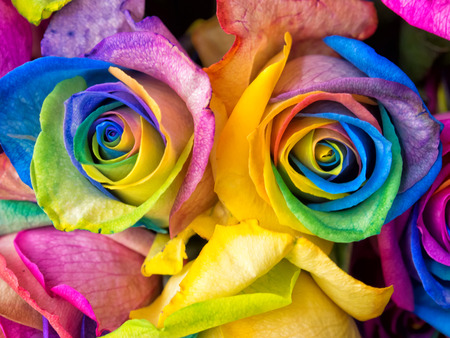 colorful flowers: Rainbow rose, colourful roses close-up macro shots.