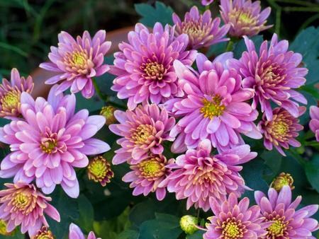 Chrysanthemum Daisy Close-up Shot, vibrant and bright