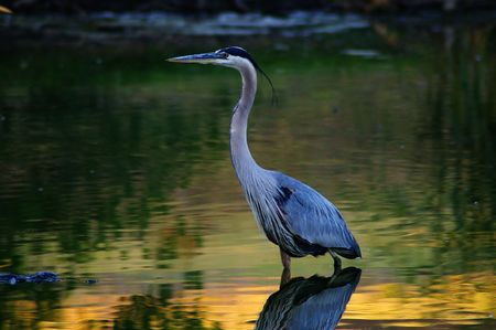 Great Blue Heron wading golden water Stock Photo