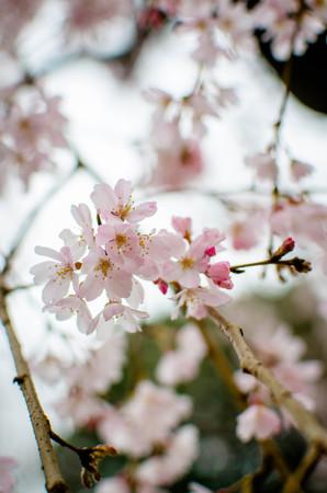 Sakura bloom in Japan
