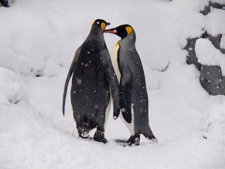 Couple of King Penguins at Asahiyama zoo, Hokkaido, Japan Banque d'images
