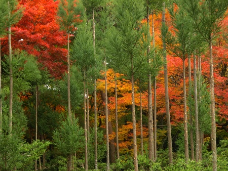 Pine tree and colorful maples in autumn at Ryoan-ji Temple, Kyoto, Japan photo