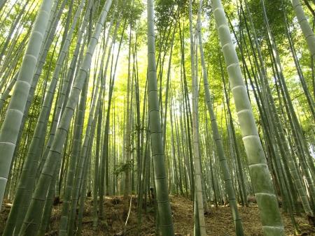 Bamboo grove in Arashiyama area, kyoto, Japan