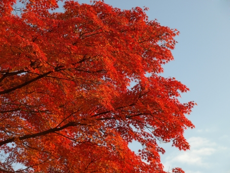 Maple tree turn its leaves to red in autumn photo