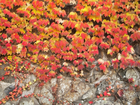 Colorful ivy on the wall in autumn photo