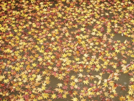 Colored maple leaves floating on the pond in autumn photo