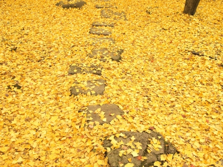 Pathway through the ground covered with ginko leaves in autumn photo
