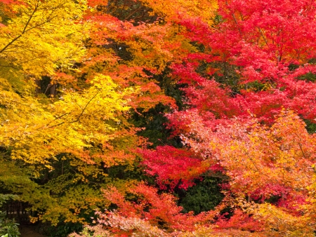 Colorful of japanese maple leaves in autumn photo