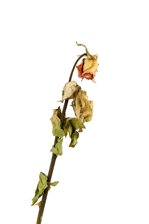 a dry rose on white background Stock Photo - 14597663