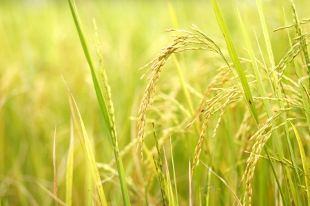 Ear of rice in the rice field