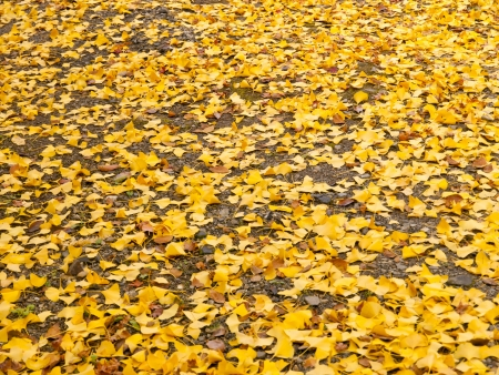 fan shaped: Ginko Leaves on the ground in autumn