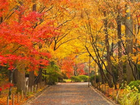 japanese fall foliage: Pathway through the park in autumn