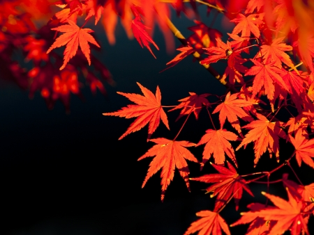 Red maple leaves in autumn photo